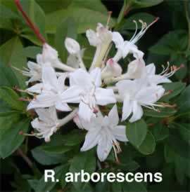 Hennings rhododendron azalea pages r alabamense 4 5f the alabama azalea is a deciduous azalea found in alabama and adjacent states it has snowy white flowers with a prominent yellow mightylinksfo